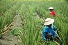 Aloevera Bali