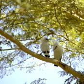 Bali Starling 1