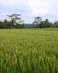 Rice field 2