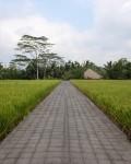 Rice field 3